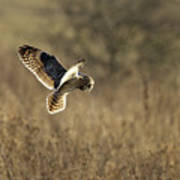 Short-eared Owl About To Strike Poster