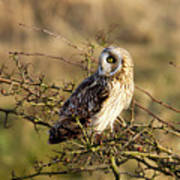 Short-eared Owl In Tree Poster