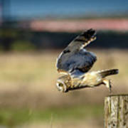 Short-eared Owl Takeoff Poster