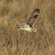 Short-eared Owl With Vole Poster