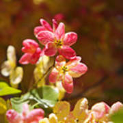 Shower Tree Blossoms Poster