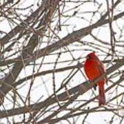 Showing His Colours - Northern Cardinal - Cardinalis Cardinalis Poster
