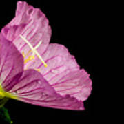 Showy Evening Primrose Poster