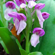 Showy Orchis Close Up Poster