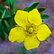 Shrubby Cinquefoil On Iron Creek Trail In Sawtooth National Wilderness Area-idaho  Poster