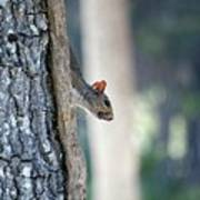 Shy Squirrel Poster