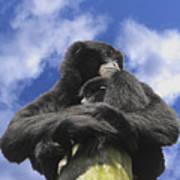 Siamang Gibbon Poster