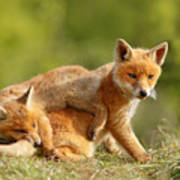 Sibbling Love - Playing Fox Cubs Poster