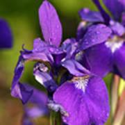 Siberian Iris After Rain Poster