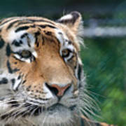 Siberian Tiger 2 Poster