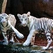Siberian Tiger Cubs Poster