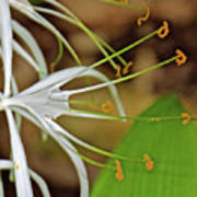 Side View Of Cahaba Lily In Huntington Botanical Gardens In San Marino-california  Poster
