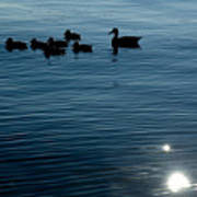 Silhouetted Duck Family Swims Poster by Todd Gipstein