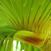 Silk Floss Palm Poster
