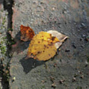 Silver Birch Leaves Lying On A Brick Path In A Cheshire Garden On An Autumn Day   England Poster