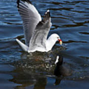 Silver Gull And Australian Coot Poster