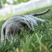 Silver Labrador Retriever  Poster