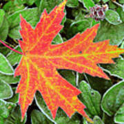 Silver Maple Frost Poster