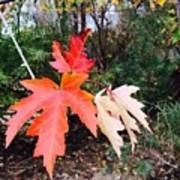 Silver Maple In Red Poster