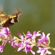 Silver Spotted Skipper Landing On Blooms                 August               Indiana Poster
