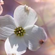 Simplicity A Dogwood Blossom Poster