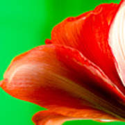 Simply Amaryllis Red Amaryllis Flower On A Green Background Poster