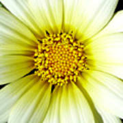 Simply Daisy Poster by JoAnn SkyWatcher