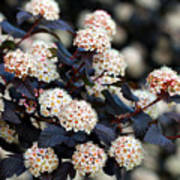 Summer Wine Ninebark Blossom Poster
