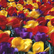 Singing Tulips L062 Poster