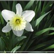 Single Daffodil Poster