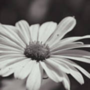 Single Daisy Bw Poster