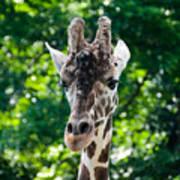 Single Giraffe Poster