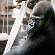 Single Gorilla Sitting Alone Poster