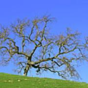 Single Oak Tree Poster