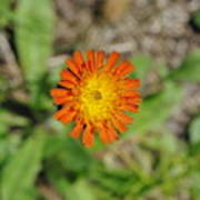 Single Orange Wild Flower Poster