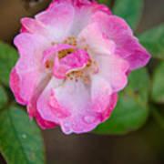 Single Rose 2 Poster
