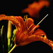 Single Tiger Lily Poster