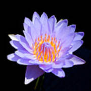 Single Water Lily Poster