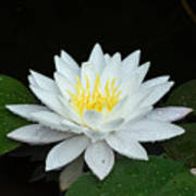 Single While Water Lily On Black Background Poster