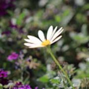 Single White Daisy On Purple Poster