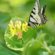 Sipping Swallowtail Poster
