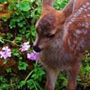 Sitka Black-tailed Fawn Poster