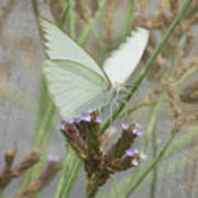 Sitting Pretty, Cabbage White Butterfly Poster