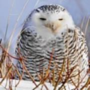 Sitting Snowy Owl Poster