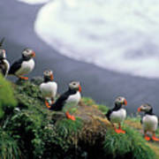 Six Puffins Perched On A Rock Poster