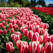 Skagit County Tulip Festival Poster
