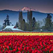 Skagit Valley Tulips-mt. Baker Poster