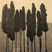 Skinny Trees In Sepia Poster