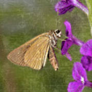 Skipper Butterly Sipping Nectar Poster