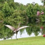 Skipping Sandhill Crane By Pond Poster